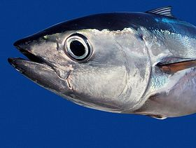 Australian Southern Bluefin Tuna (SBT) Fishery, Farming Achieves Sustainability Certification