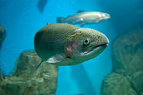 Japanese University Successfully Produces Offspring from Frozen Trout