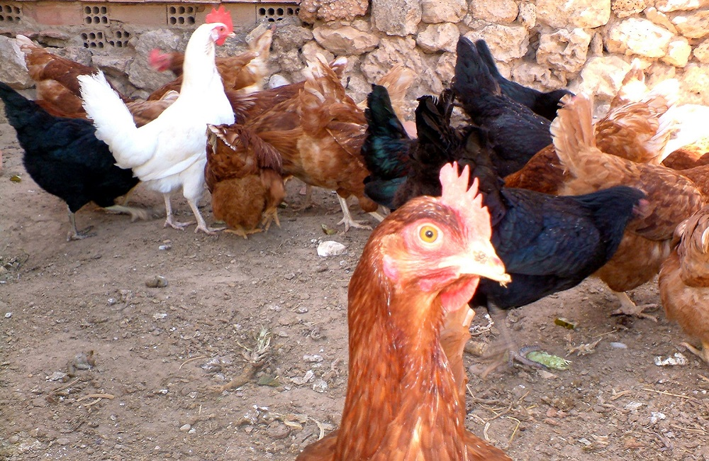 Asia, West Africa troubled by avian influenza